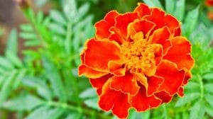 Marigold as an Acne Treatment