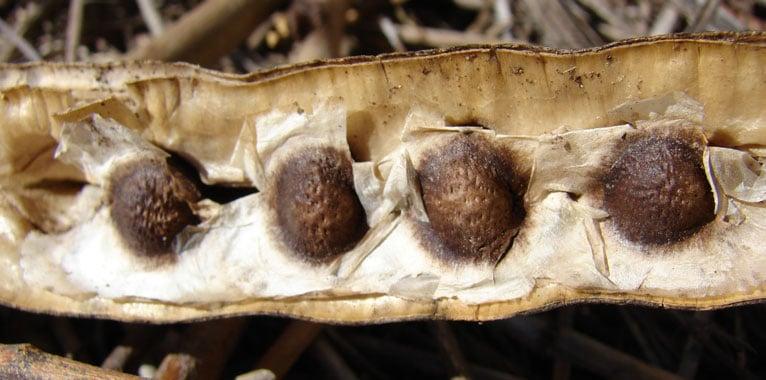 Moringa Seeds for Acne